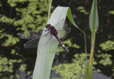 Uitzonderlijke rijkdom aan libellen ontdekt in het Reijerpark te Ridderkerk